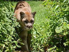 north carolina cougar